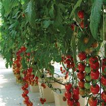 温室无土栽培 基质水培 荷兰种植桶模式